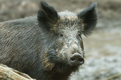 http://wien.orf.at/static/images/site/oeka/20111147/wildschwein.5021616.jpg